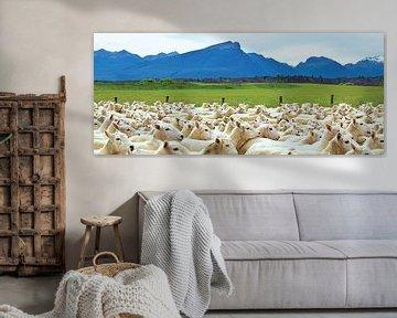 Moutons en Nouvelle-Zélande sur Ricardo Bouman