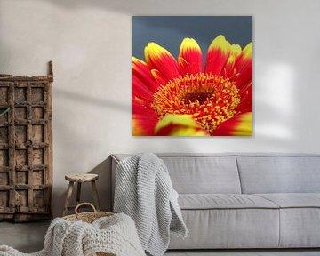 Gerbera bloem rood en geel close-up macro foto