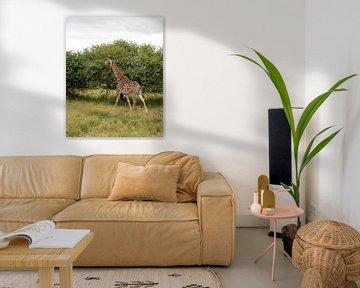 een giraffe loopt rustig weg