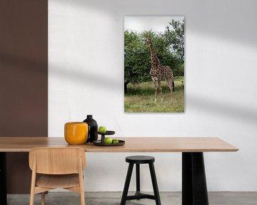 een giraffe in krugerpark