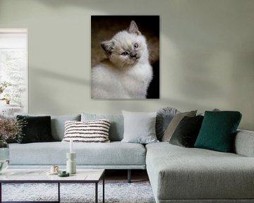 Dreamy eyes. Jonge kitten poes/kat poserend in de camera van noeky1980 photography