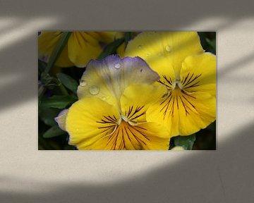 Gele viooltjes van Sanne Willemsen