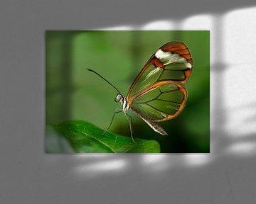 Glasvleugel vlinder - Glasswing butterfly von Michelle Coppiens