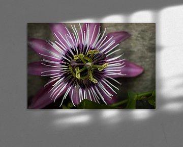 Passie flora