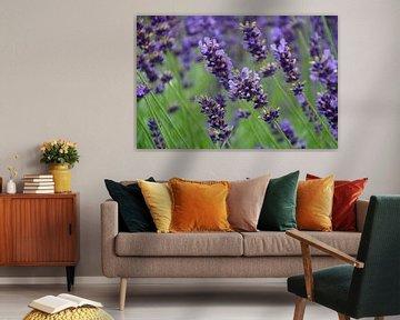 Lavendel in Ooltgensplaat
