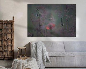 klaproos met knoppen, poppy,Terheijden, Noord-Brabant, Holland, Nederland, afbeelding klaproos von Ad Huijben