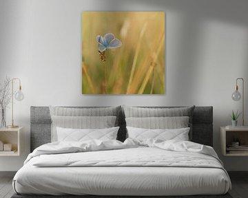Icarusblauwtje op een grote pimpernel. Vlinder sur Martin Bredewold
