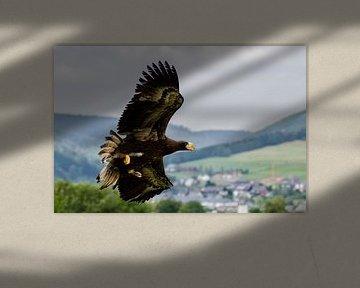 Wings of beauty. Stellers zeearen in de vlucht. Roofvogel nog in de groei