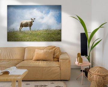 Texel Schafe.