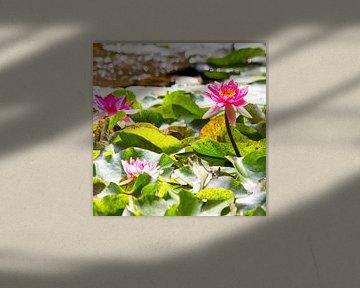 Waterlelies en een libelle. sur Rob Hermanns Photography