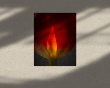 Tulp in vuur en vlam 45 van Herman van Ommen