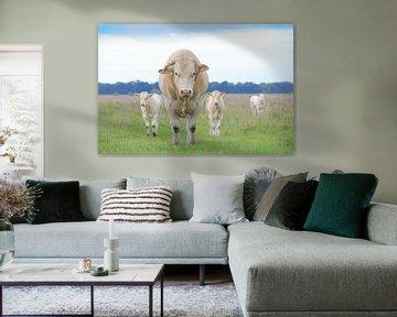 Blonde d'Aquitaine stier met twee van zijn kalveren in weiland van Henk van den Brink