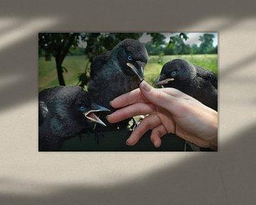 3 Crows von Dennis Timmer