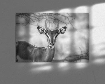 Springbok in Zwart-Wit sur Guus Quaedvlieg