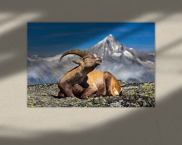 Steenbok geniet van de zon