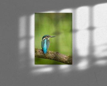 Ijsvogel in groene omgeving van Pascal De Munck