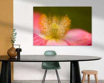 Hart van een bloem. Klaproos Munnickenhof, Terheijden, Noord Brabant, Holland, Nederland afbeelding  van Ad Huijben