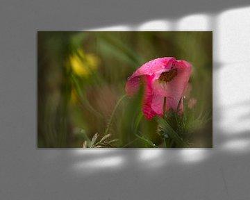 Schoonheid in verval. Klaproos met regendruppels in een bloemenveld. Terheijden, afbeelding klaproos van Ad Huijben