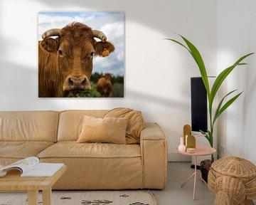 Franse koe(ien)