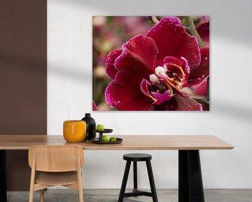 Rode Orchidee met twee harten von Foto Hal