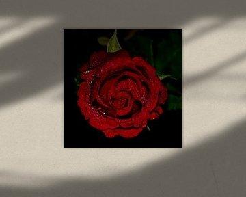 Rode Roos van Dick Vermeij