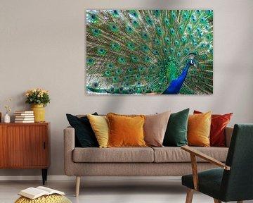 Pauw met alle kleurige veren zichtbaar von Wout Kok