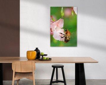 Bij op bloem met waterdruppels. von Menno van der Werf