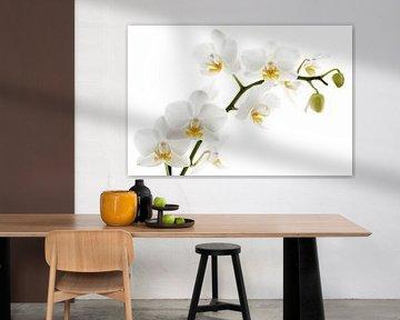 Witte orchidee van Lorena Cirstea