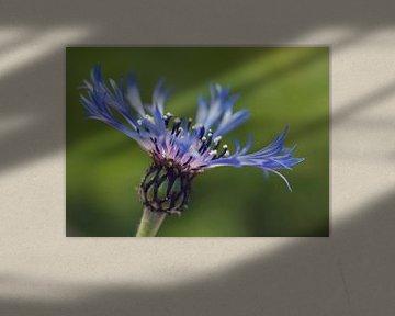 paarse bloem staand in het veld van Sandra Keereweer