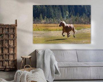 Haflinger in galop von Marcel Antons