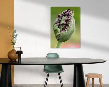 alleenstaande paarse tulp in de knop von Sandra Keereweer