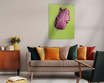 alleenstaande paarse tulp in de knop van Sandra Keereweer