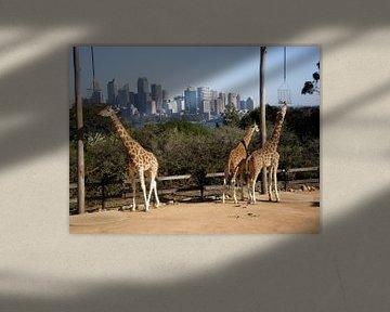 Giraffen in der Stadt von Inge Teunissen
