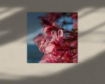Oleander aan zee van Hannie Bom