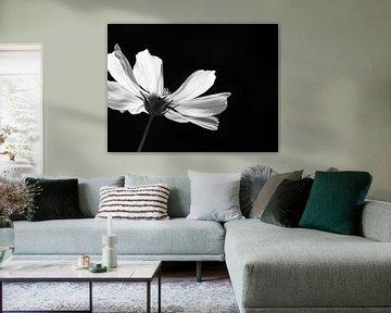 Cosmea in zwart wit