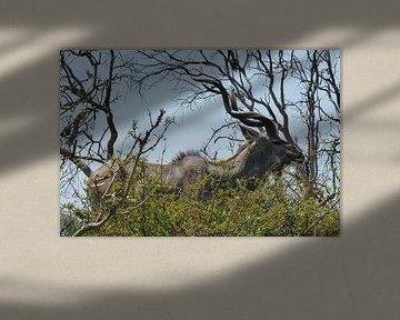 Kudu Kruger Park von Daisy Janssens