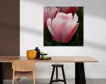 Mooie tulp, rose-wit van Ina Hölzel