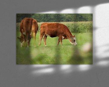 Twee rode koeien grazen in de groen wei