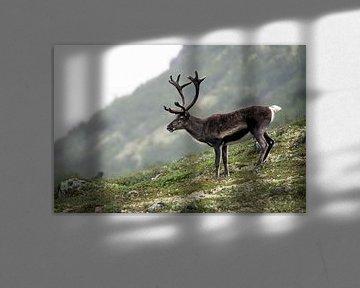 Rendier in Jotunheimen, Noorwegen van Martijn Smeets