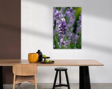 Lavendel von Ostsee Bilder