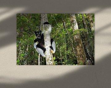 Indri in het woud van Antwan Janssen
