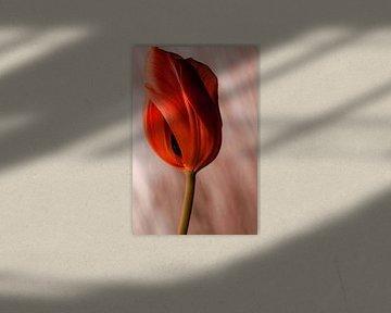 Tulpe von Markus Wegner