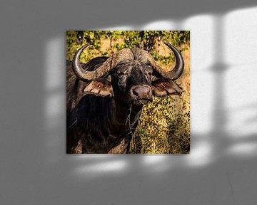 Kaffer of Afrikaanse buffel (Syncerus caffer) van Rob Smit