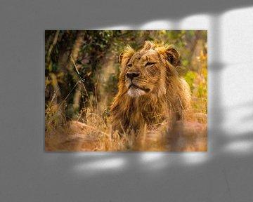 Leeuw, lekker relaxen van Rob Smit
