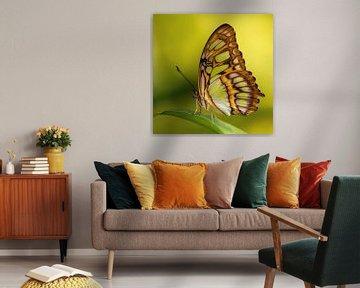 De Siproeta stelenes vlinder von Ralf Linckens