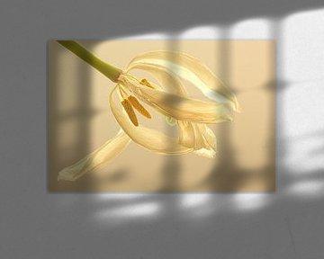 Witte tulp in wit van Wilma Overwijn