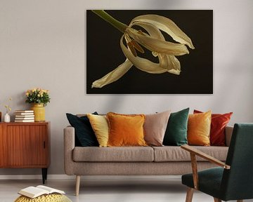 Witte tulp in zwart van Wilma Overwijn