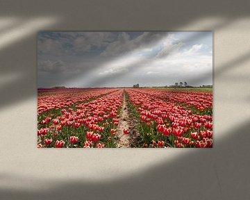 rode tulpen op de bollenvelden