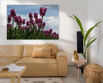 paarse tulpen op het veld van Compuinfoto .
