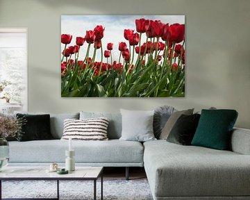 rode tulpen van dichtbij von Compuinfoto .
